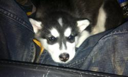 8 week old black and white female giant mal for sale. This ad was posted with the Kijiji Classifieds app.