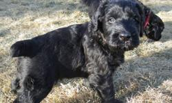 Giant Schnauzer Puppies (CKC Registered) Sorry Puppies are all SOLD   Dam: CKC Registered Sire: AKC Registered and CKC Registered  (Skansen) OVC Hip Dysplasia Certificate   Mom and Dad are on site. These puppies are not raised in a kennel they are raised