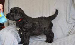 Four female Giant Schnoodle F1 (first Generation) puppies are available.   Mom is an AKC registered Giant Schnauzer and dad is a UKC registered Standard Poodle.   Giant Schnoodles are non-shedding and hypoallergenic.   For additional photos & information