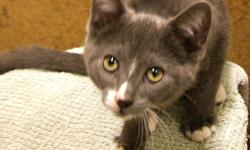 Hi, I'm Gidion! I'm currently living at the Sudbury SPCA, but I'd love to find my forever home! I'm a 3-month-old playful kitten up for adoption. I recently came back from my foster home, so I'm socialized with large dogs, cats and children! I'm an