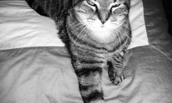 LOOKING FOR A HOME!   HI MY NAME IS GIZMO, I AM A MALE TABBY CAT, 12 YEARS OLD. I HAVE BEEN NEUTURED, RECEIVED REGULAR VETERINARY CHECKUPS & AM LITTERBOX TRAINED. I HAVE LIVED AROUND OTHER CATS THROUGHOUT MY LIFE. I AM AN INDOOR CAT. I'VE NEVER BEEN KNOWN
