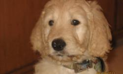 Beautiful first generation Golden Doodle puppies for sale. Non-shedding, hypoallergenic.  Mom is an American Golden Retriever and on site and Dad is an apricot Standard Poodle.  Both parents are around 50 lbs. therefore these puppies should not grow into