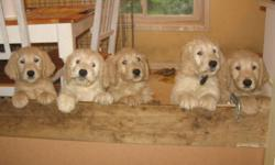 I have 3 beautiful male Golden Doodle puppies for sale.  They are non-shedding and good for families with allergies.    The parents of these pups are purebreds, dad is a standard Poodle and mom is a Golden Retriever.  Dad has had hips checked.  Both