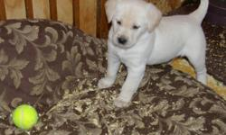 These puppies are ready to go on Feb. 13.  Both parents on site. Personable and loving puppies, to good homes only please. Call 403-380-0580 or 403-634-9742 or 403-327-9776 (leave message if no answer) Part of the proceeds from these puppies will go