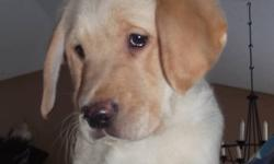 ONLY 1 LEFT!! Gorgeous golden male puppy waiting for his new home. Mom is a purebred Golden Retriever, dad is a CKC chocolate Lab. He comes with first shots, 3x deworming, Revolution, and a vet health certificate. These dogs are a great mix of two