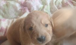 Beautiful puppies, home raised and loved.  Mom is on site -(Golden Retriever) She is weining them now. We are located at Camp Encounter at Lac La Nonne about an hour north west of Edmonton.   Kitty- 780-967-2548 or 780-967-5030