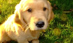 One male Golden Retriever left in my litter of three. He will be available to his new owners October 30 -CKC Registered pure bred -Tattooed -First Shots -Dewormed -Full puppy physical Both parents have great temperaments, excellent genetic and over all