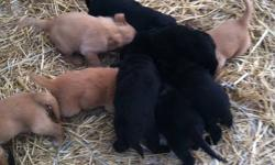 We have ten puppies for sale, 6 black, and 4 brown. The mother is Black lab Boarder Collie cross and the father is a Golden Retriever. Two of the 6 black pups have white on their face and blue eyes, the rest of the black pups are pure black and have brown