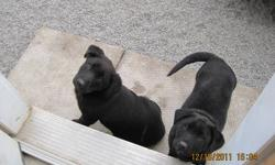 2 Female mix breed puppies, cute little things. Playful, great with kids, and all people. They are used to being around cats. Their mom is a german shepherd golden retreiver, mostly retriever, and I'm assuming their dad is a black lab. All black pups,