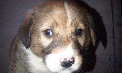 golden retriever collie X pups for sale, they had there shots! 4 to choose from!