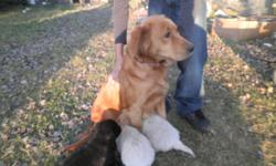 3 puppies, one male, 2 females for sale no shots ready to go November 8, 2011.Golden retriever mother on site,can deliver to gp, the black one is female, one cream female and one cream male.First pic of the wagon left female, center ones the male and on