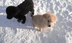 ONLY 2 LEFT!! One male, one female. Beautiful puppies, very good with kids, they are playful and love to run, they are eating solid dog food and drinking water. Golden retriever mother on site. Cream one is male, black is female. WE CAN DELIVER TO GP WE