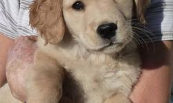 Non-registered, Golden Retriever female puppy.  She has had her 1st shots and deworming.  She is brave and strong.  She loves the outdoors, just like her parents do, and she can keep up with them! Last puppy from a litter of 11. For more information,