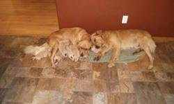 We have nine beautiful golden retriever puppies which were born on November 11, 2 females still available. Both the mother and father are our dogs and they are wonderful.  Puppies have had vet check and first shots/deworming.   Delivery can be negotiated,