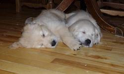 CKC registered golden retriever puppies from excellent lines. Parents have hips, elbows, eye and heart clearances. Sire is from Swedish champion lines and working on his own champion title. Dam is field golden, trained and working in the field as an