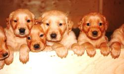 Our beautiful purebred golden retriever puppies will be ready to join your family in time for Christmas!  We have 6 males and 5 females.  Farm and family raised, well socialized.  Both parents on site and available for viewing.  First shots and de-worming