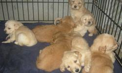I have 7 golden retriever puppies for sale. 4 girls 3 boys. they are ready to go Jan 12. they will be vet checked needled and dewormed. I have both parents. For those who are interested in my puppies, just to let you know for some reason I'm not recieving