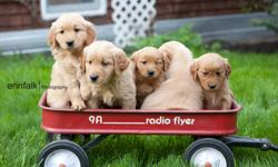Beautiful Golden Retriever Puppies.  Ready to go Dec 24.  Vet Checked, 1st Shots, De-wormed, family raised, house trained.    Contact 403-506-2602.  Can arrange for delivery to Calgary or Edmonton.  Comes with Vet Health Certificate.   2 Darker Females