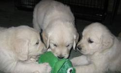 We have Golden Retriever puppies ready to go to there forever home.   We have cream to light Golden puppies males and females.   Our puppies are home raised with Children and cats for great socialization.   We are a registered breeder and give on going