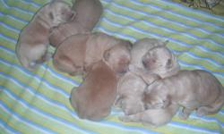 I have a brand new litter of golden retriever puppies ready to leave around the middle of December. I only have 2 females not spoken for out of a litter of 7. The females will be a light to medium gold in color. Included is their first set of