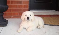 Golden Retriever puppies available now to go to there new wonderful home.   They are cream to golden colour. We have males and females available.   They are home raised in a loving enviroment with children and cats. We beleive in a well socialized puppy