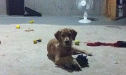 Hi I have a 7 month old golden retriever puppy for sale. Her name is Mannie. She is a very sweet and loving puppy. I'm a single father and just do not have the time or energy anymore to give her the proper care she needs. She is fully house trained, she