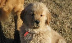 """"""" GOLDEN RETRIEVER'S...MICRO-CHIPPED ! """"                                                                                    Our Pups are Vet Checked, De-wormed, Micro-chipped and                                   have their 1st shots."""