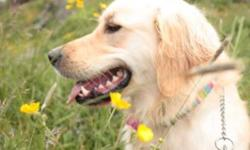 I am looking for a good home for my golden retriever, Ally. She is extremely good with children, dogs and cats. She is a high energy dog and requires a good run every day. I'd like it if she could go to a home where she could get out everyday, or even if