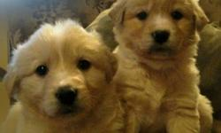 Adorable, sweet and loving golden retriever/collie x puppies. Dad is a golden retriever and mom is a border collie. Some look like dad and some look like mom. A beautiful mix. They are well socialized and have very sweet personalities. They will make