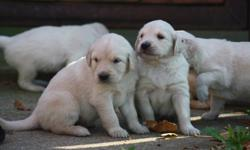 Wonderful and ever so friendly golden retriever pups for sale they will have first vacanations and dewormed done befor they are ready to go. If you are interested please call or message me to make arrangements to see them. I am asking 100 deposit to