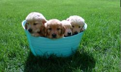 Golden Retriver Puppys for sale. both males and females available, asking 475$ for more information call darlene at 627-2767