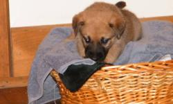 I have 8 wonderful puppies for sale.  The father is golden retriver/shepard and the mother is shepard/roti mix. Asking 125.00 First four pictures are girls and the last picture are boys. They are looking for loving, caring homes.