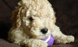 Goldendoodle Pups F1B Minis & F2B Standards Minis $1500 Standards $950   Minis expectant weight 25-38lbs. (Mom 52lbs. F1 Goldendoodle & Dad 12lbs. Poodle)   Standards expectant weight 40-55lbs. (Mom 55lbs. F1B Goldendoodle & Dad 29lbs. F1 Goldendoodle)