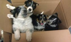 Both parents are cattle dogs.  They have had their first shots and been vet checked.  The girls are on the pink blanket and the boys are on the blue blanket. Need a good home. Please contact Lanette at 1-306-886-4410.