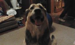 Energetic male Lab/German Shepperd named Huffy. 5 years old, good dog, loves every body, good with other animals and kids. Loves playing ball. Athletic swimmer. not nurtured. Needs friends and a good home. . Please contact if interested.