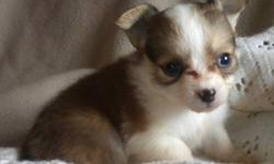Ready Now - we have Chihuahua puppies including a Tiny Teacup Princess. They are up to date on vaccinations, revolution and deworming, and come with a written Health Guarantee.   We have both long haired and short haired pups, both boys and girls in