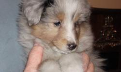 These beautiful CKC registered sheltie puppies are now ready to go! We have 3 blue merles available - 2 female and 1 male.  Pictures don't do them justice.  They must be seen in person to truly appreciate how wonderful they really are! Raised with love
