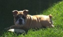 Beautiful playful English Bulldog Puppy for Sale.  Purebred .1500.00 firm.  Purchased from amazing breeder.  Beautiful markings, needs lots of love.  She is absolutely adorable and very healthy.  All shots and check ups up to date.  Unfortunately we are