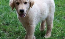 There are 3 females and 1 male golden retriever puppies left! Please call 905-393-8827 for details! Available Thursday-Friday from 9am-9pm in our family home! Also Sunday 1pm-9pm. Sorry, no availability Saturday or Thanksgiving Monday.   Beautiful cream