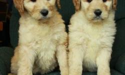 We have absolutely gorgeous golden doodle puppies that are now 9 weeks old and ready to find new homes! They were born on November 25. There are 4 females and 1 male at this time. These goldendoodles are light wavy to curly and will have little shedding,