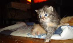Gorgeous Himalayan/Ragdoll/Domestic-Cross Kittens For Sale!!   SOLD!!! Thank you everyone for your interest... ...the next litter will be available in early summer.