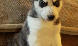 Last 2 available! Stunning purebred husky puppies available to new homes now at 9 weeks old! They were born on November 16. There is 1 male and 1 female available at this time. The last female has 2 blue eyes and the last male has 1 blue and 1 brown eye.