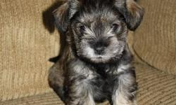 Check back in a couple of days and I will post a link to a video of the pups!   Two little Salt and Pepper Schnoodles available (of a litter of 3).  Mom is 50/50 Schnauzer/Poodle and Dad is a pure bred local Schnauzer stud.  Mom is a sweet and calm lap