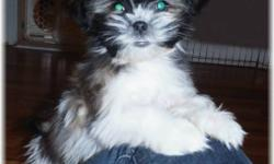Gorgeous, playful  MalteseXShih Tzu babies!! Our little ones have excellent temperments, are very loving and intelligent.One adorable little tri-color girl now availible!! Home raised, social and great with children. This cross brings together the best