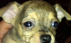I have 3 male tiny chihuahua's that will be ready for Xmas, they will have first shots and dewormed 3 times....they are pee pad and crate trained! Very well socialized they will be between 4-6 lbs full grown If interested please contact me at
