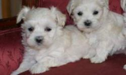 Ready for there new home; Purebred Maltese puppies, they are very sociable, home raised with small children,  parents registered, mother and father weight 5 lbs, comes with the two set vaccinations and written health guarantee,  they been de-wormed, one