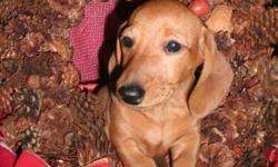 HAVE A MERRY CHRISTMAS WITH ME UNDER THE TREE! Adorable mini dachshund puppies for sale . These gorgeous little guys and gals are ready for their forever homes .  They have their  frist shots, deworming and come with a  health gaurantee.  These puppies