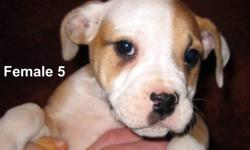 They were born August 23 and ready to go. 2 males and 4 females! They come with; - First shots - Revolution (anti-fleas) - Dewormed - Vet checked - Health record They have Beautiful Markings. Parents are both purebred Olde English Bulldogge This kind of