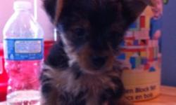 Hi there! I have two pure breed yorkie puppy's, they gust gorgeous, they got very silky and furry coat. The smallest is a girl shes gonna be not more then 4 lb. Boy very handsome, look like teddy bear and will be up to 6lb full grown. They both pee pad