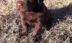 We have 6 beautiful females and 1 handsome male Chocolate Labrador puppies left for sale! Their sire is a CKC registered Chocolate Labrador Retriever (English) and their dam is an unregistered Chocolate Labrador Retriever (American), so the puppies will